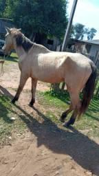 Cavalo baio maduro