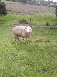 Vendo Ovelha Texel