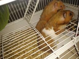 2 Hamster fêmea