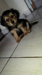 Cachorrinho Macho