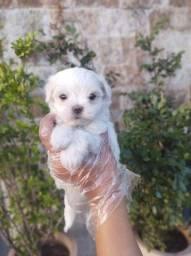 Maltês Filhotes lindos e saudáveis e consulta veterinária