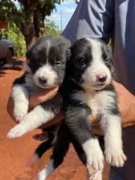Filhotes de Border Collie puros