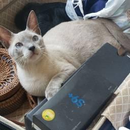 Lindo gato castrado