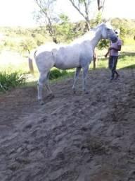 Cavalo, Edem Ease Ril, sexo masculino, pelagem Tordilho, 8 anos