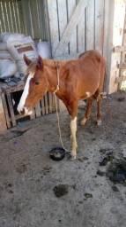 Vendo cavalo macho 1 ano e 4 meses