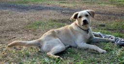 Labrador Mix - Doação