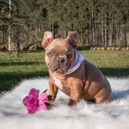 Linda e Pequena Bulldog Francês Exótica