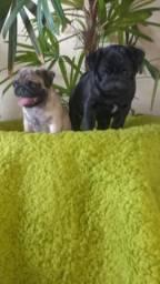 Pug macho com pedigree disponível para entrega