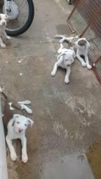 Filhotes de pitbull a venda