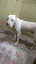 Cachorro para cobertura Albino Pitbull red nose