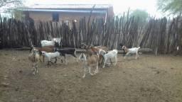 Cabras a venda de variadas raças