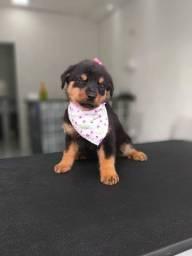 Rottweiler a pronta entrega com garantia de saúde e padrão da raça