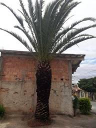 Vende-se palmeira