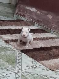 Pit bulll  macho filhote venda