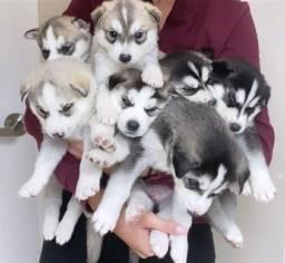 Husky Siberiano, machinhos e fêmeas com benefícios e garantias!