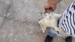 Gatinho castrado para adoção