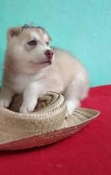 Ainda temos belos filhotinhos de husky siberiano