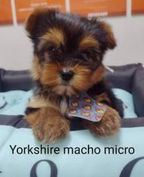 Belissimos filhotes de Yorkshire, com garantia!