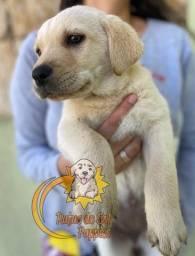 Filhotes de Labrador com garantia