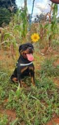 Rottweiler disponível p acasalamento  #CBKC
