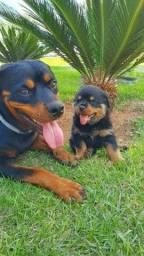 Vendo lindas fêmeas Rottweiler