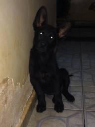 Vendo um filhote top pastor preto