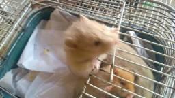 Hamsters Fofão