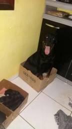 Rottweiler Filhotes (Cabeça Touro)