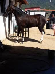 Cavalo Manga Larga puro de marcha picada