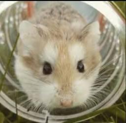Doação de 3 hamster