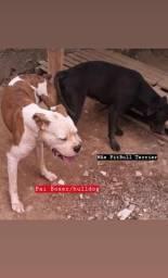 Filhotes mix (Boxer/Bulldog c/ Pitbull)