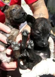 Filhotes de Bullterrier