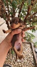 Filhote Cão Pinscher Miniatura Chocolate Tan