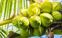 Vendo Coco verde (atacado) R$ 0.8