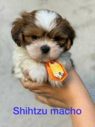 Olha o tamanho desse Shihtzu mini mini mini