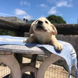 Labrador Filhotes lindos e saudáveis e consulta veterinária gratuita 11.9109.11758