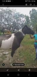 Égua mangalarga marchadora vende e  troca