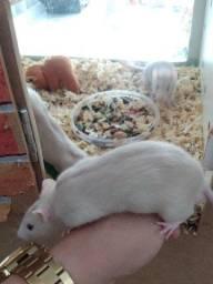 Rato de laboratório - filhote dócil