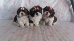 três fêmeas filhotes shitzu super dóceis, 350$ cada