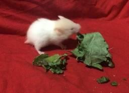 Hamster filhotes