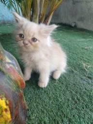 Fillhotes de gato persa