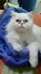 Gatinha Persa branca de olhos azuis