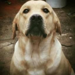 Labrador macho para cruzamento
