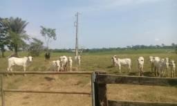 Vacas paridas* bezerros de 2a 7meses
