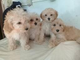 Poodles filhotes, com pedegree