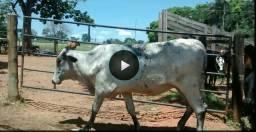 Novilhas e Bezerras leiteiras Girolandas