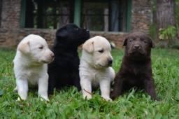 Labrador fêmeas e machinhos já vacinados com todas garantias em contrato