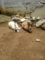 Vendo 2 coelhos Lion