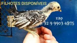 Filhotinhos de galinha ornamental sebright prata | zebraite. Disponível poucos pintinhos_