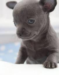 Chihuahua macho pelo curto blue